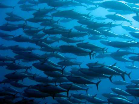 bluefin-tuna