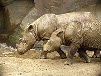 Sumatran_Rhino_2