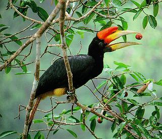 SumatraRhinoHornbill (1)