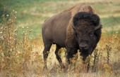 American_bison_