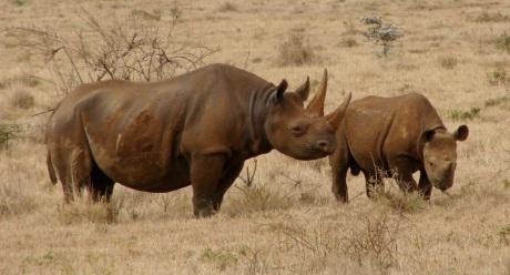 Black_Rhinos_Kenya