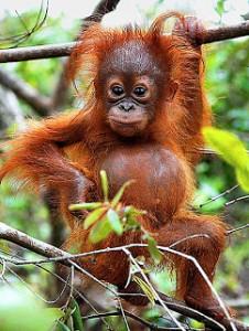 Orangutan3-226x300