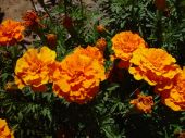 Orange_marigolds