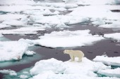 sea_ice_polar_bear
