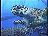 hawksbill-turtle-thailand