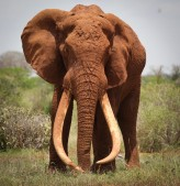 african-elephant2