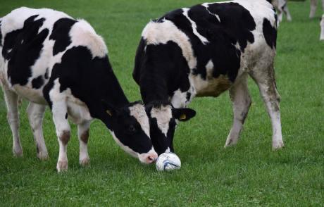 footballcowsbybenchallis