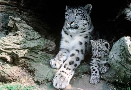 snow-leopard-mother-cub-580